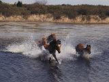 Wild Chincoteague Ponies Swim the Assateague Channel
