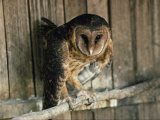 Captive Tasmanian Masked Owl