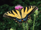 A Tiger Swallowtail Butterfly Feeds on a Thistle Flower
