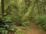 A Trail Cuts Through Ferns and Shrubs Covering the Rain Forest Floor