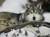 Portrait of a Captive Gray Wolf