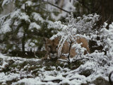Mountain Lion Stalks Prey in a Snowy Landscape