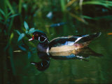 A Male Wood Duck Makes its Home in the Wildlife Park at Brookgreen Gardens in South Carolina
