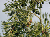 Close View of Olive Tree Branches