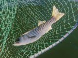 Striped Bass in Net