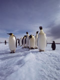 A Group of Emperor Penguins  Aptenodytes Forsteri  Standing on Ice