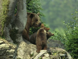 Brown Bear with Cubs  Bayerischer Wald National Park  Germany
