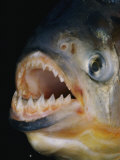 Close-up of a Piranha