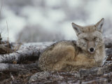 A Coyote (Canis Latrans) Curled up on the Ground