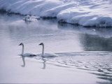 Serene Adult Trumpeter Swans Sail the Snow-Banked Madison River