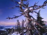 Winter View of a Bristlecone Pine