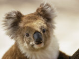 A Portrait of a Koala