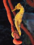 A Longsnout Seahorse  Hippocampus Reidi  with Tail Curled on a Sponge