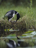 A Loon Raises Itself to Turn its Eggs with its Beak While Incubating