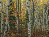 Birch Trees with Autumn Foliage