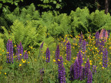 A Field of Ferns  Lupines and Other Wildflowers
