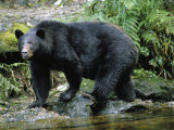 A Black Bear  Ursus Americanus  Walks Along a Rocky Bank