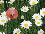 View of a Single Poppy in a Field of Daisies