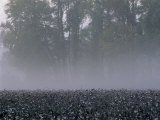 Morning Mist over a North Carolina Cotton Field