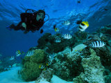 Diver Swimming with Butterfly Fish and Scissor-Tail Sergeants