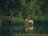 White-Tailed Deer Enjoy Year-Round Asylum at the Aransas Refuge in Coastal Texas