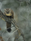 An American Marten in a Tree During a Light Snowfall