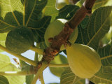 Close-up of Two Large Figs Hanging on a Branch
