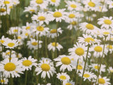 View of a Field of Daisies
