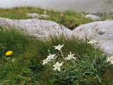 Edelweiss Flowers Blooming Among Rocks