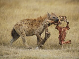 A Spotted Hyena Carries a Piece from a Zebra Carcass