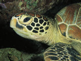 Close View of a Sea Turtles Head Papier Photo par Tim Laman