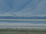 Zebras and Pink Flamingos  Ngorongoro Crater  Tanzania