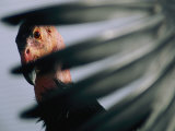 A View of a California Condor Through its Own Primary Feathers