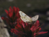 A Pieris Butterfly Perches on an Indian Paintbrush Flower