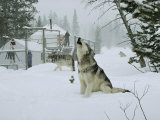 Gray Wolves  Canis Lupus  Surround the Dutchers Snowy Camp