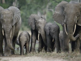 A Group of African Forest Elephants in a Clearing in the Forest