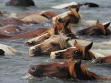 Wild Chincoteague Ponies Swim the Assateague Channel to Auction