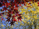 View of a Japanese Maple Branch and Leaves
