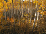 A Stand of Aspen Trees Displaying Autumn Colors