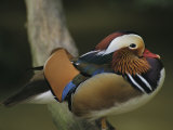 A Portrait of a Mandarin Duck