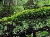 Woodland Mosses