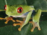 Close-up of a Tree Frog