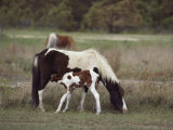 Chincoteague Ponies Grazing on Assateague Island  Virginia