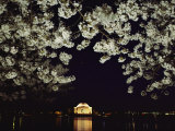 Japanese Cherry Blossoms Frame a Night View of the Jefferson Memorial