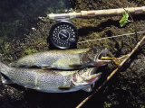 A Pair of Cutthroat Trout  Salmo Clarki  and a Reel Lie on a Bank