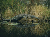 American Alligator Basking Near the Water