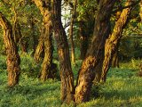 Woodland View of Gnarled Tree Trunks