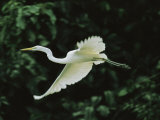 A Great Egret  Casmerodius Albus  Flies Gracefully