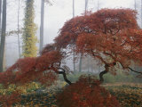 Japanese Maple Trees (Acer Palmatum) Exhibiting Fall Colors