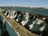 Cattle Lined-Up at a Trough to Eat